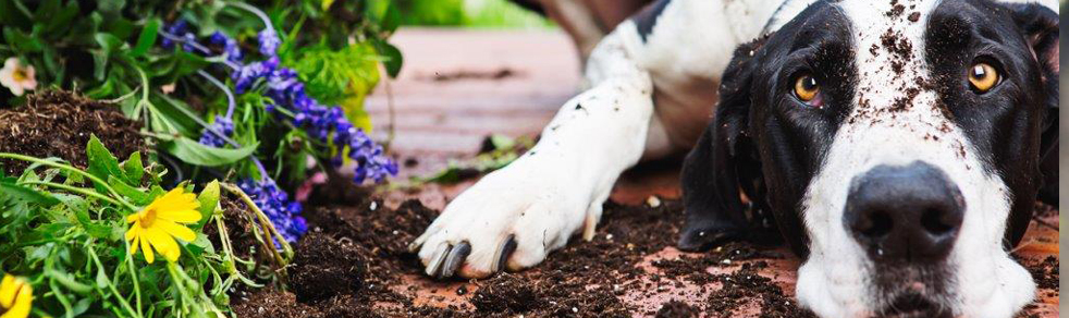 black and white dog with dirt on his face, lying next to a pile of dug up plants